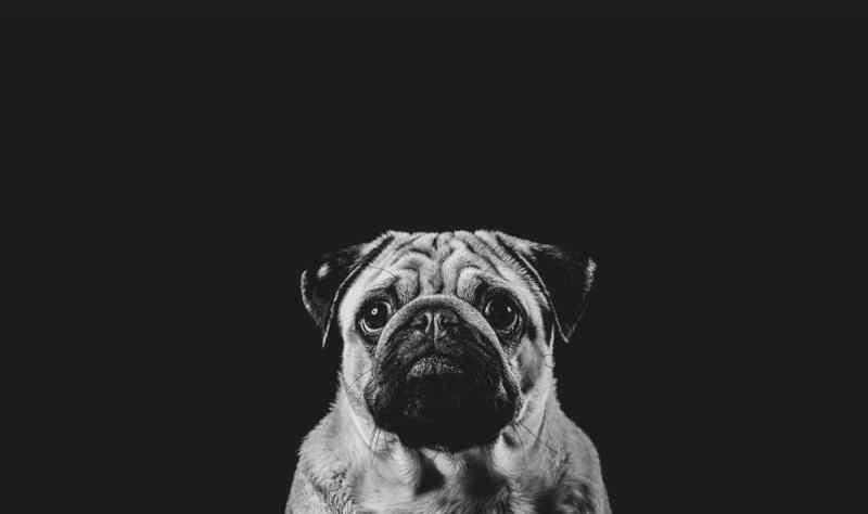 animal photography pet photographer staffordshire pugs